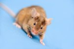 How to Control and Eliminate Mice