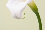 How to Submerge Calla Lilies