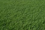 The Best Turf Grass for Houston, Texas
