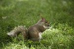 Squirrel Repellent Herbs
