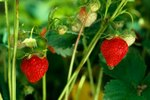 When to Plant Strawberries in Mississippi?