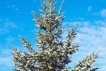 How to Stop an Evergreen From Growing