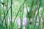Is the Horsetail Plant Toxic?