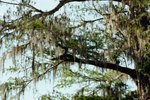 Why Bald Cypress Trees Turn Brown in Summer