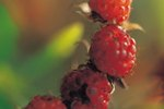 How to Grow Raspberries in Wisconsin