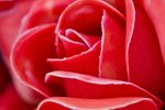 What are the Meanings of Different Colors of Roses