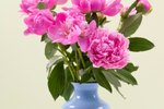 Are Peonies Poisonous?