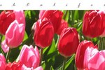 How to Grow Tulips in Southern California
