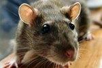 Rat Control Home Remedies