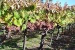 How Fast Do Grape Vines Grow?