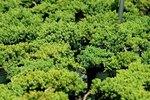 Low Growing Junipers