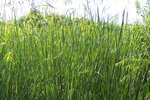 What Is Vetiver Grass?