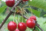 The Best Time to Trim Cherry Trees