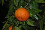 Do Tangerine Trees Need Cross-Pollination?