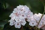 Laurel Flower Meaning