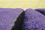 Will Lavender Oil Get Rid of Ticks?