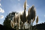 How to Remove Pampas Grass