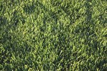 How to Patch St. Augustine Grass
