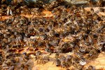 How to Get Rid of Queen Bees