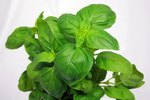 How to Keep Bugs Off Basil Plants