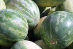 How to Grow Ice Box Watermelons