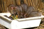 How to Get Rid of Rats in the Loft