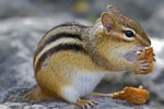 How to Trap a Chipmunk in a Mouse Trap