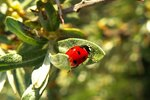 Household Chemicals to Get Rid of Ladybugs