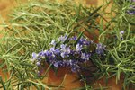Oil of Rosemary As a Tick Repellent