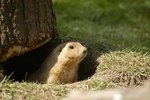 How to Build Prairie Dog Traps
