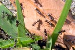 How to Make a Homemade Ant Remedy With Borax