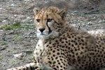 How to Make a Boys' Cheetah Costume