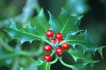 What Does the Christmas Holly Plant Represent?