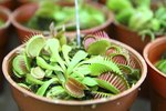 Carnivorous Plants That Eat Mosquitoes