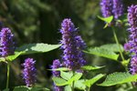 Winter Care for Agastache Plants