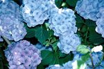 Care for Hydrangeas in Pots
