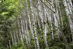 Paper Birch Trees in Pacific Northwest Landscaping