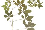 How to Grow Hawthorn Cuttings