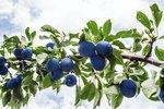 The Lifespan of a Purple Leaf Plum Tree