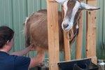 Dangers of Goat Milk