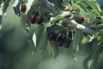List of Self Pollinating Cherry Trees