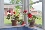 How to Care for Geraniums Indoors