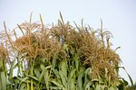What Are Corn Tassels?