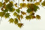 How to Shape and Train Japanese Maples