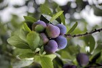 How to Start Plum Trees From Seed