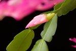 Is a Christmas Cactus an Acid-Loving Plant?