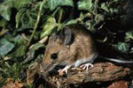 Chemicals That Kill Mice
