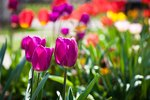 How to Propagate Tulips