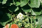 How to Stop Pill Bugs From Eating Strawberries