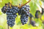 How to Eat Concord Grapes